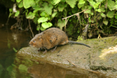 A Water Vole at Quarry Lane Nature Reserve